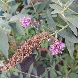 Photographie n°965230 du taxon Buddléia arbre-aux-papillons