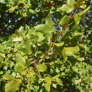 Photographie n°967229 du taxon Acer monspessulanum L. [1753]