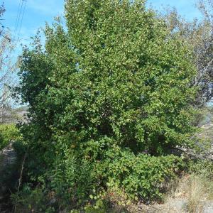 Photographie n°967231 du taxon Acer monspessulanum L. [1753]