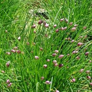 Photographie n°969719 du taxon Allium schoenoprasum L.