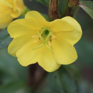 Photographie n°970539 du taxon Oenothera biennis L. [1753]