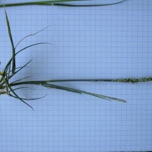 Photographie n°970601 du taxon Sporobolus indicus (L.) R.Br.