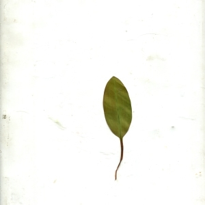 Photographie n°971489 du taxon Potamogeton natans L. [1753]