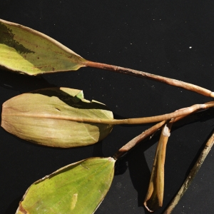 Photographie n°971498 du taxon Potamogeton natans L. [1753]