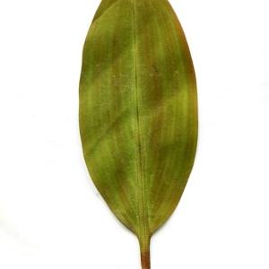Photographie n°971500 du taxon Potamogeton natans L. [1753]