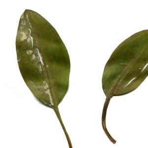 Photographie n°971501 du taxon Potamogeton natans L. [1753]