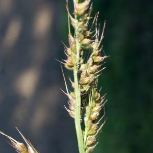 Photographie n°971554 du taxon Echinochloa crus-galli (L.) P.Beauv.