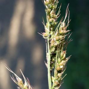 Photographie n°971555 du taxon Echinochloa crus-galli (L.) P.Beauv.