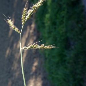 Photographie n°971559 du taxon Echinochloa crus-galli (L.) P.Beauv.