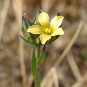 Photographie n°971577 du taxon Linum strictum L.