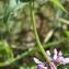 Liliane Roubaudi - Stachys palustris L. [1753]