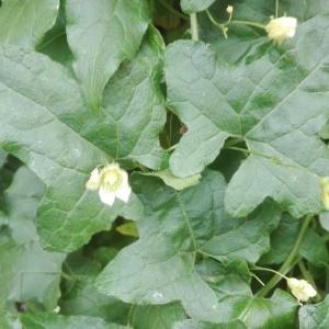 Photographie n°971697 du taxon Bryonia dioica Jacq. [1774]
