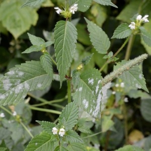 Photographie n°971900 du taxon Galeopsis tetrahit L.