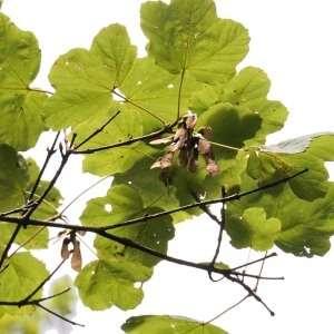 Photographie n°971911 du taxon Acer opalus Mill.