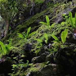 Photographie n°971926 du taxon Asplenium scolopendrium L. [1753]