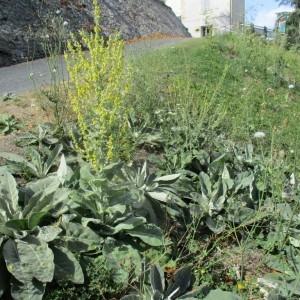 Photographie n°974485 du taxon Verbascum pulverulentum Vill.