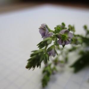 - Veronica anagalloides Guss.