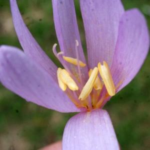 Colchicum autumnale L. (Colchique d'automne)