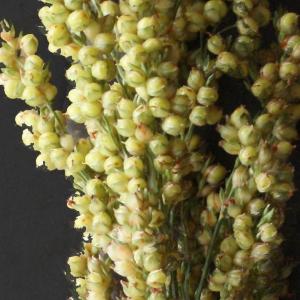 Photographie n°975600 du taxon Sorghum bicolor (L.) Moench