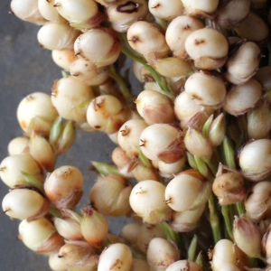 Photographie n°975617 du taxon Sorghum bicolor (L.) Moench