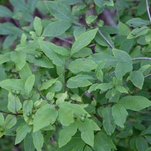 Photographie n°977308 du taxon Lonicera nigra L. [1753]
