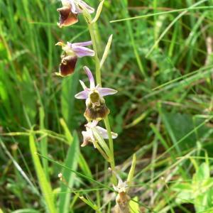 Photographie n°977678 du taxon Ophrys fuciflora (F.W.Schmidt) Moench [1802]