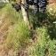Florent Beck - Vitis vinifera subsp. vinifera