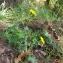 Florent Beck - Hieracium virgultorum Jord. [1848]