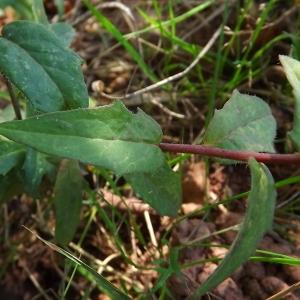 Photographie n°977741 du taxon Hieracium virgultorum Jord. [1848]