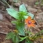Florent Beck - Lysimachia arvensis (L.) U.Manns & Anderb. [2009]