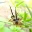 Florent Beck - Geranium dissectum L.