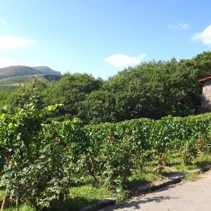 - Vitis vinifera subsp. vinifera
