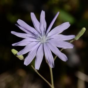 Photographie n°978395 du taxon Lactuca perennis L.
