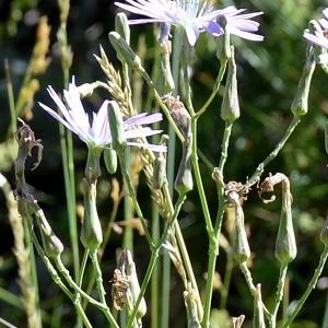 Photographie n°978396 du taxon Lactuca perennis L.