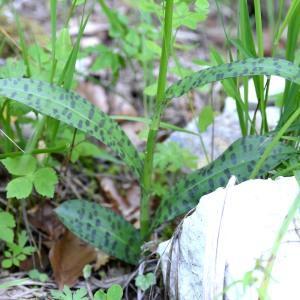 Photographie n°978443 du taxon Dactylorhiza fuchsii (Druce) Soó [1962]