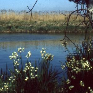 Photographie n°979561 du taxon Narcissus tazetta L.