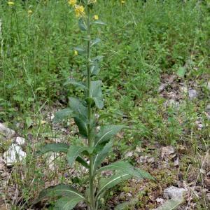 Photographie n°981526 du taxon Verbascum L. [1753]