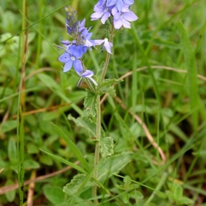 Photographie n°982759 du taxon Veronica austriaca L.