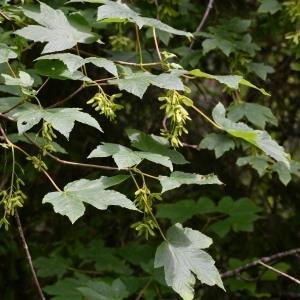 Photographie n°983325 du taxon Acer pseudoplatanus L.