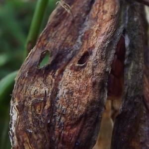 Photographie n°983725 du taxon Iris pseudacorus L. [1753]