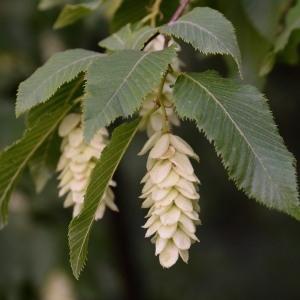 - Ostrya carpinifolia Scop. [1772]