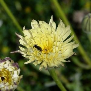 Photographie n°983780 du taxon Urospermum dalechampii (L.) Scop. ex F.W.Schmidt [1795]
