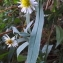 Florent Beck - Symphyotrichum subulatum var. squamatum (Spreng.) S.D.Sundb.
