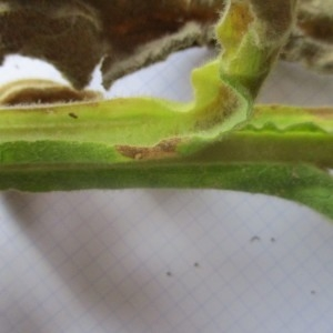 - Verbascum phlomoides L. [1753]