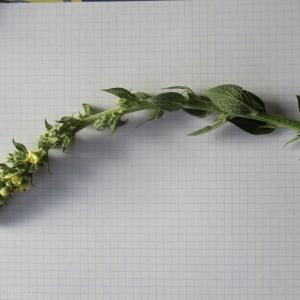 Photographie n°984304 du taxon Verbascum thapsus L.