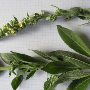 Photographie n°984305 du taxon Verbascum thapsus L.