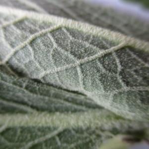 - Verbascum thapsus L.