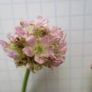 - Armeria arenaria (Pers.) Schult.