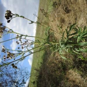- Jacobaea erucifolia (L.) G.Gaertn., B.Mey. & Scherb.