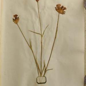 Dianthus carthusianorum L. (Oeillet des Chartreux)